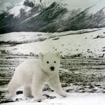 Jääkarude jajäise maastikuga trikookangas, kupong 120cm x 150cm, Stenzo, Art.4827